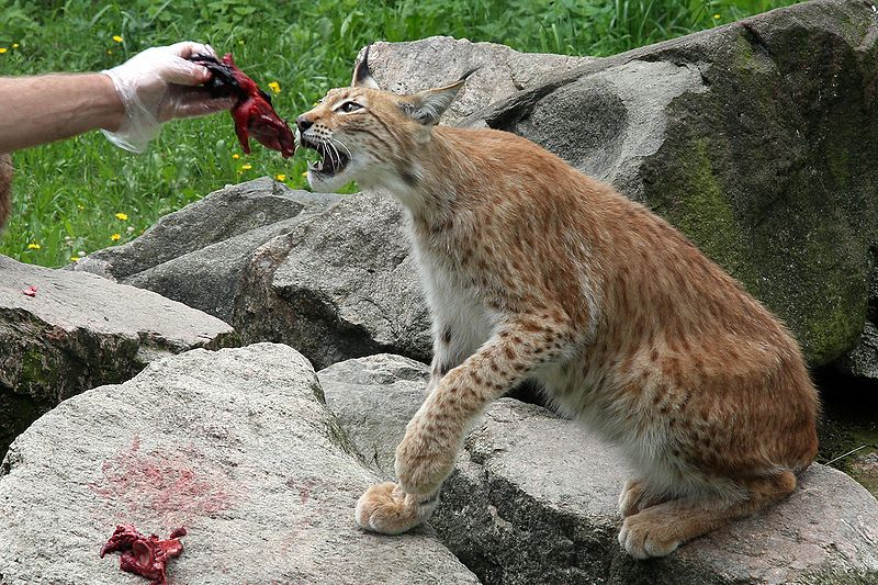 an analysis of the animal species lynx Genomic analysis of the iberian lynx confirms that it is one of the species with the least genetic diversity among individuals, which means that it has little margin for adaptation the research opens new pathways of research and conservation the use of new genomic resources will contribute to.