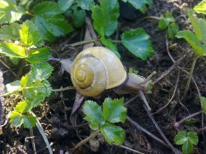 Marching along as only a snail can, rabid or not.